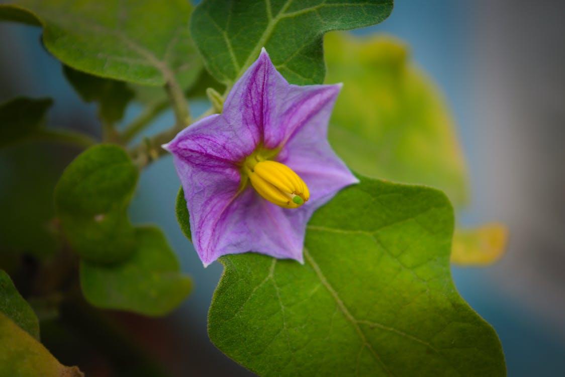 Free stock photo of brinjal flower, egg plant, flower