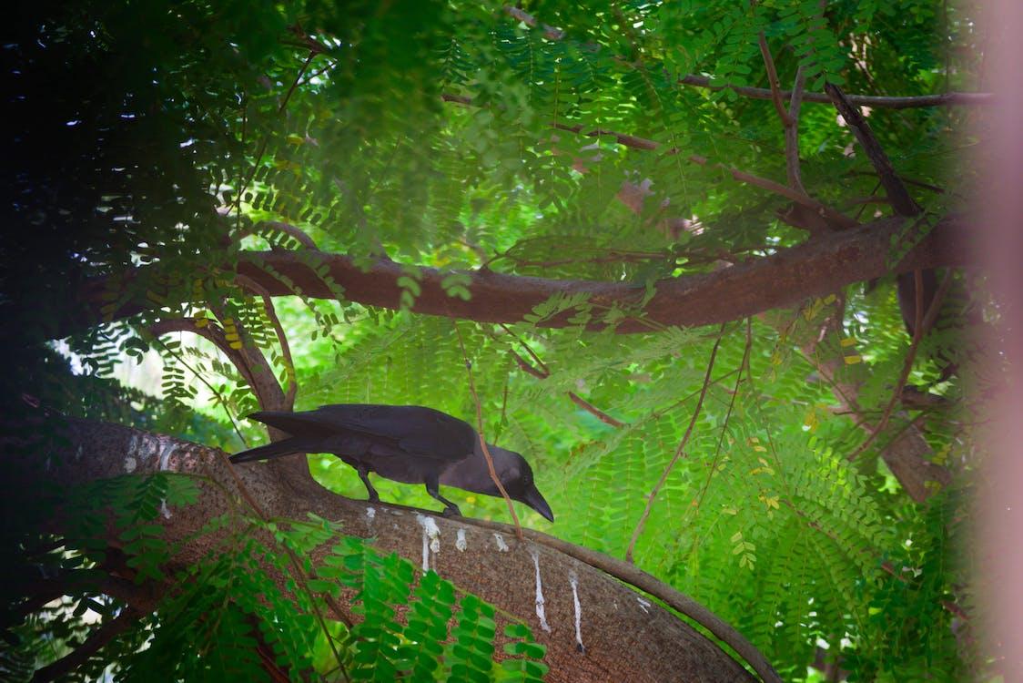 Free stock photo of crow