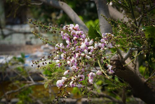 Free stock photo of blooming flowers, millettia pinnata, pongame