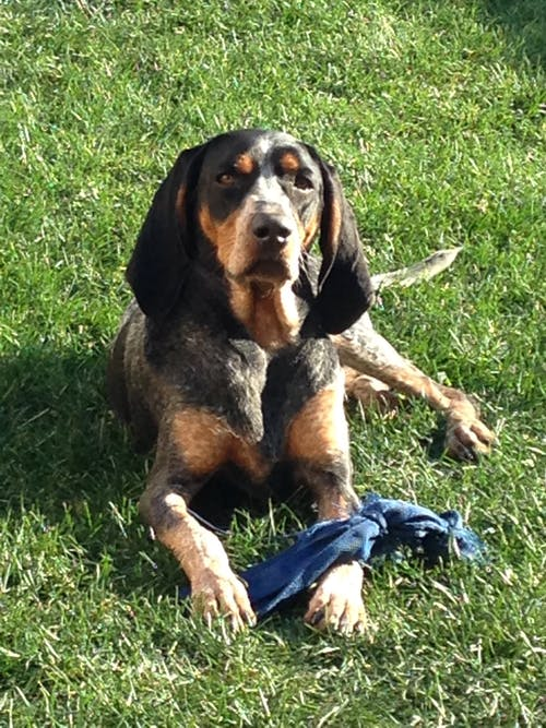 Free stock photo of blue tick coon hound, dog, purebred