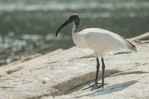 Free stock photo of ibis