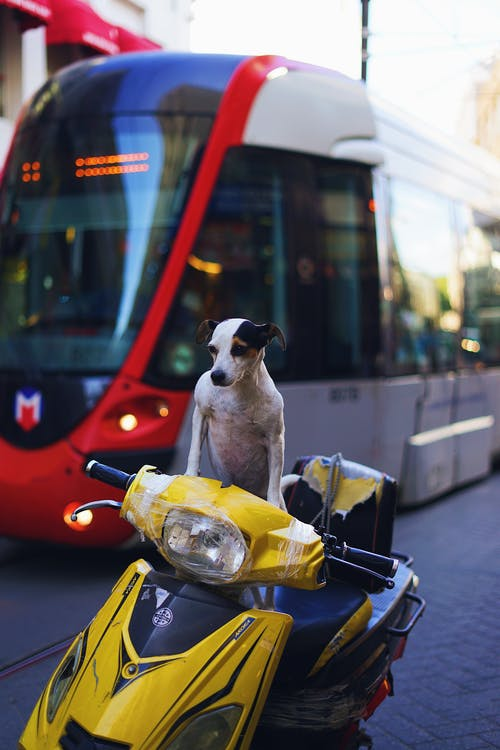 Jack Russell terrier on motorcycle in city