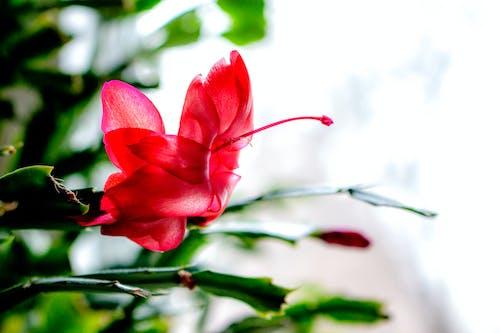 Free stock photo of christmas, christmas cactus, flower