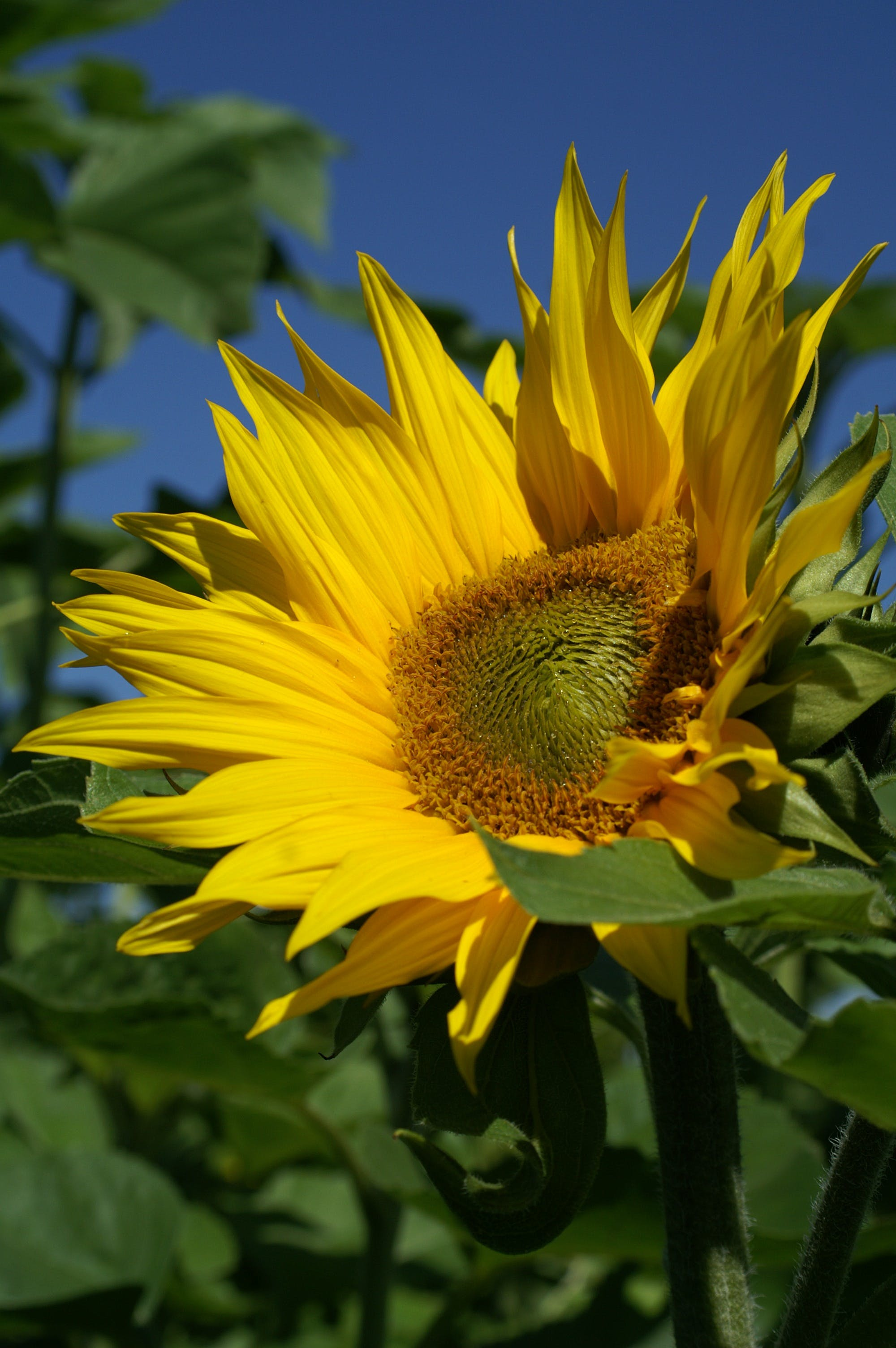 Sunflower Under Blue Sky during Daytime