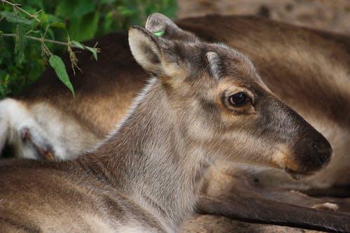 buzağı, göz, hayvan, ren geyiği içeren Ücretsiz stok fotoğraf