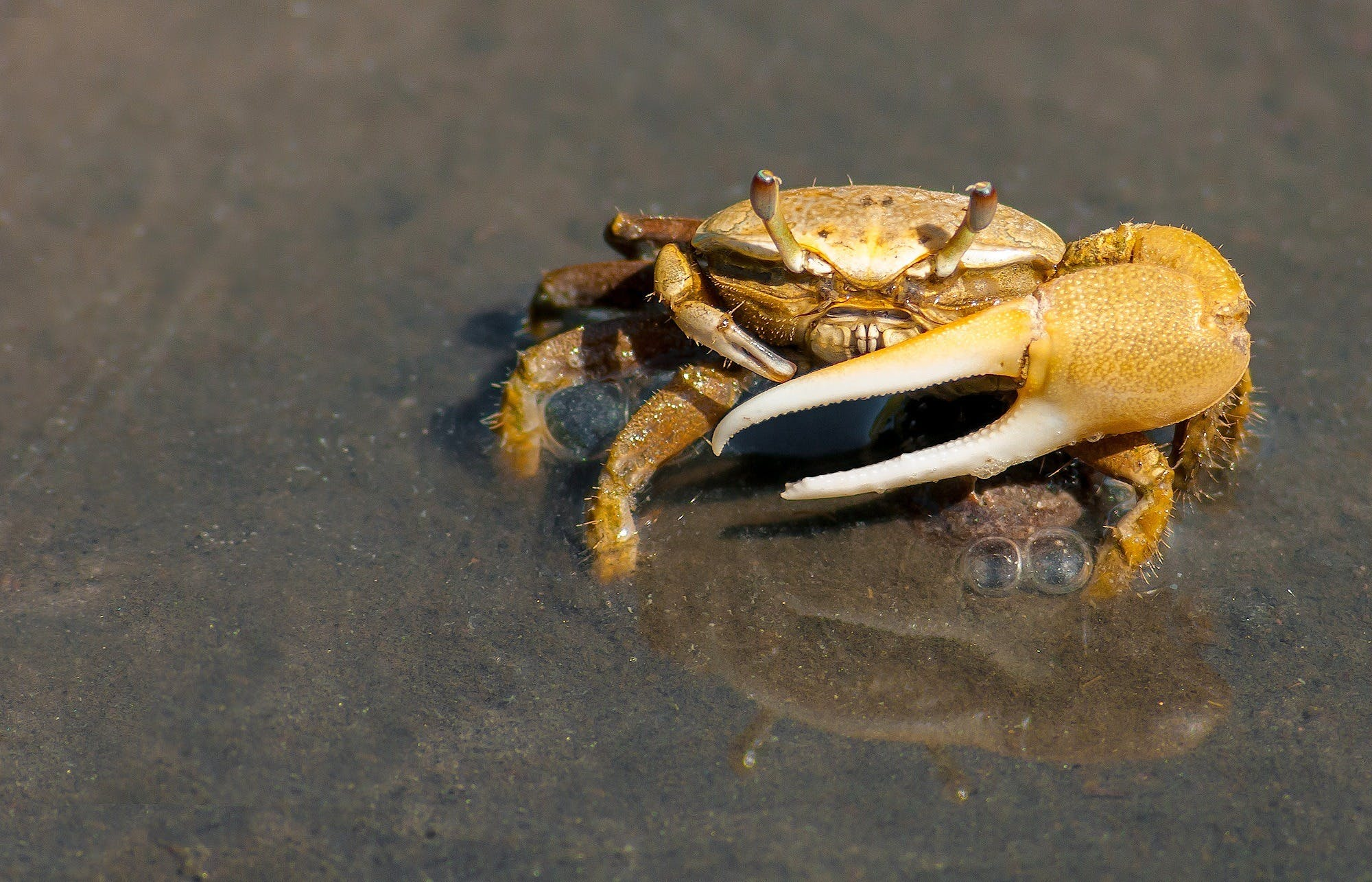 Kostenloses Stock Foto zu krabbe, makro, reflektierung, tier