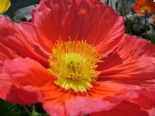 bitki örtüsü, çiçek, Çiçek açmak, gelincik nudicaule içeren Ücretsiz stok fotoğraf