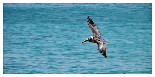 Základová fotografie zdarma na téma hnědý pelikán, křídlo, létání, moře