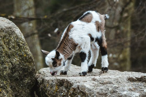 White and Black Cow on Brown Rock