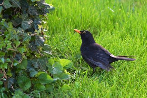Free stock photo of animal, blackbird, garden