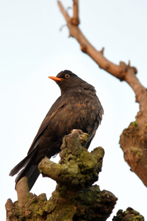Free stock photo of animal, blackbird, branch