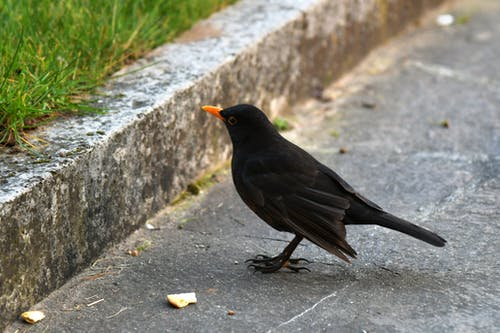 Free stock photo of animal, blackbird, crumbs