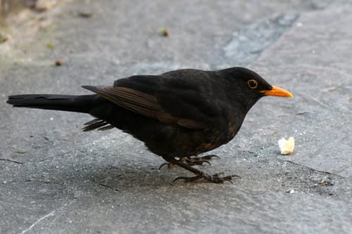 Free stock photo of animal, blackbird, crumb