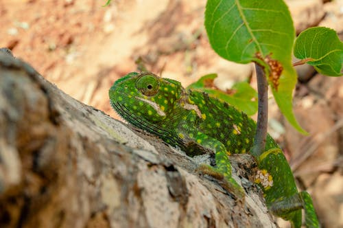 Green Chameleon on the Brown Tree Branch