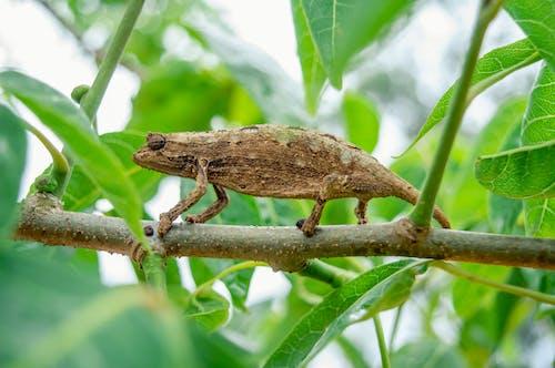 Chameleon on the Tree Branch