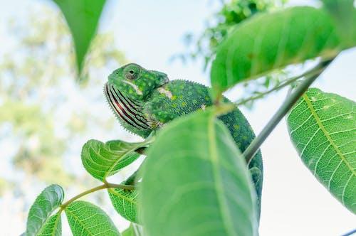 Green Chameleon on the Tree Branch