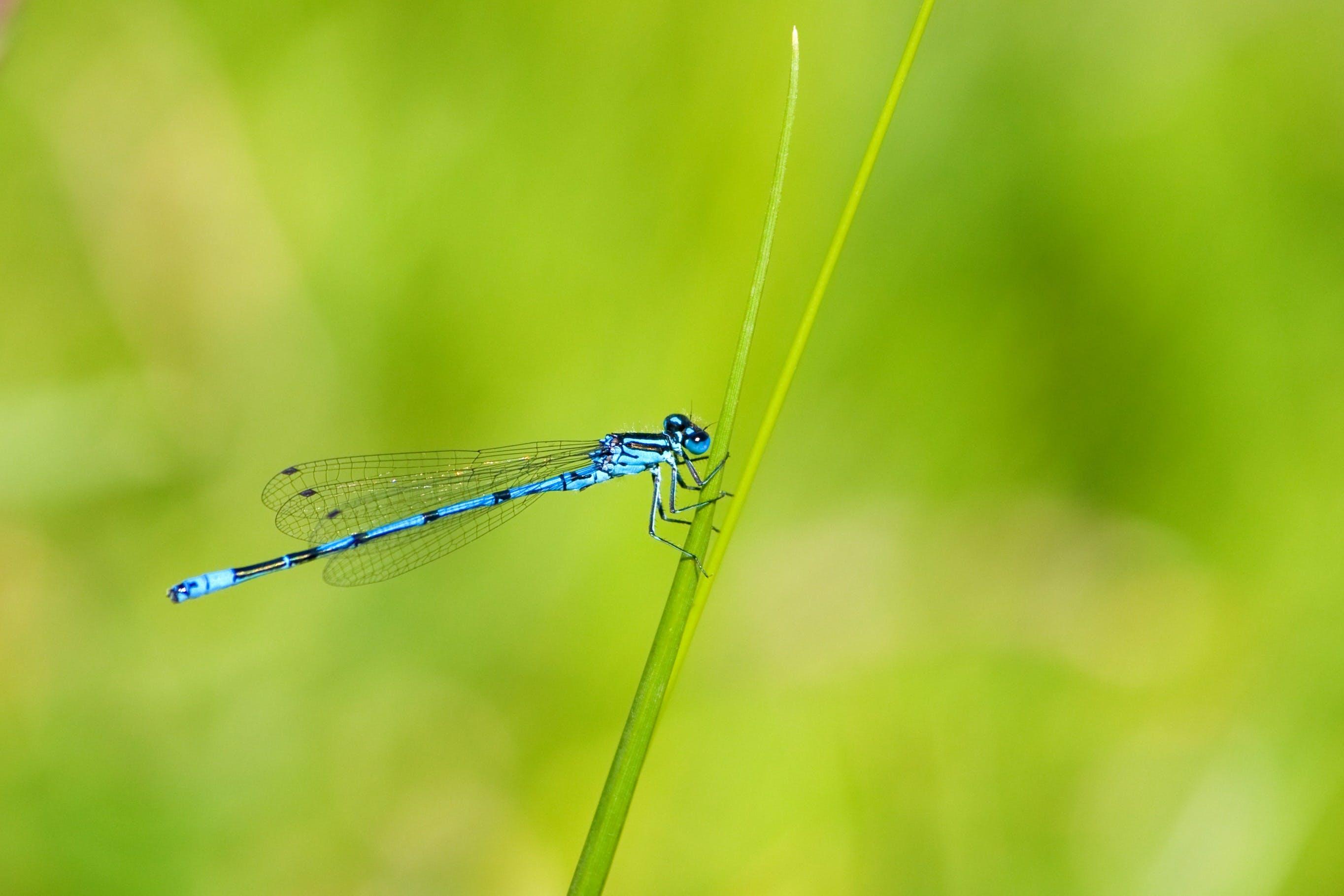Ingyenes stockfotó Egyenlő szárnyú szitakötő, közelkép, makró, rovar témában