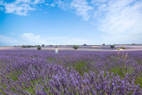 Základová fotografie zdarma na téma farma, fialová, Holandsko