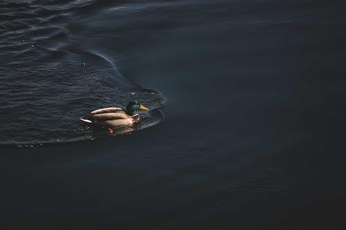A Mallard Duck Swimming on a Water