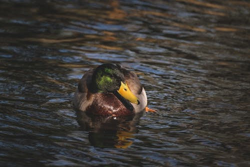 Graceful male wild duck with colorful plumage swimming in rippling lake on sunny day