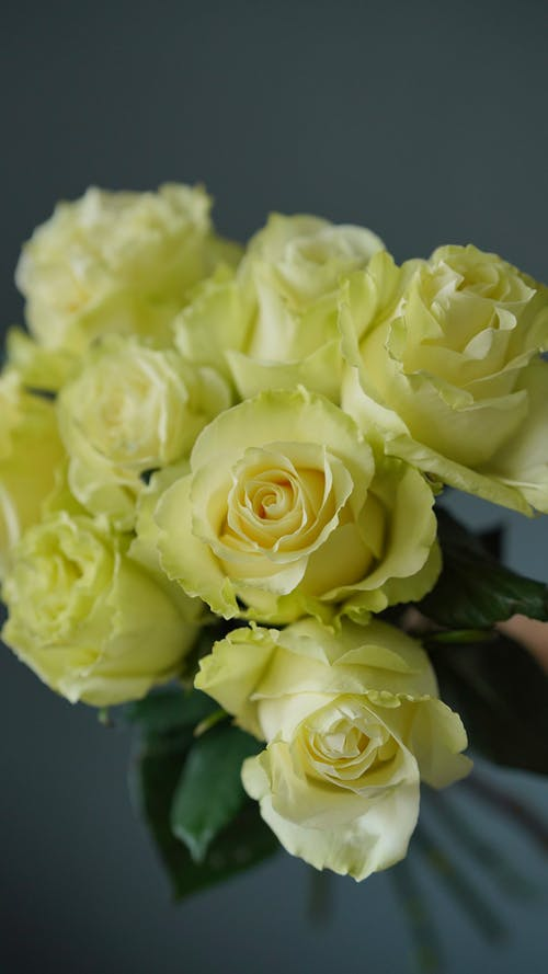 Delicate white roses on gray background