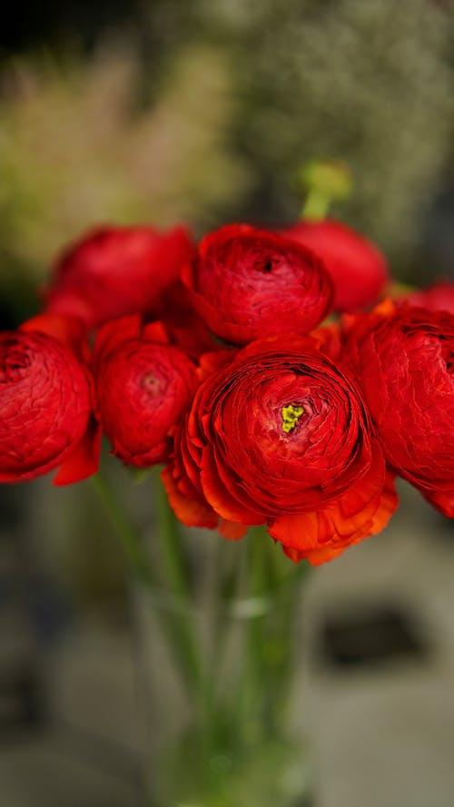 Red Ranunculus flowers in vase