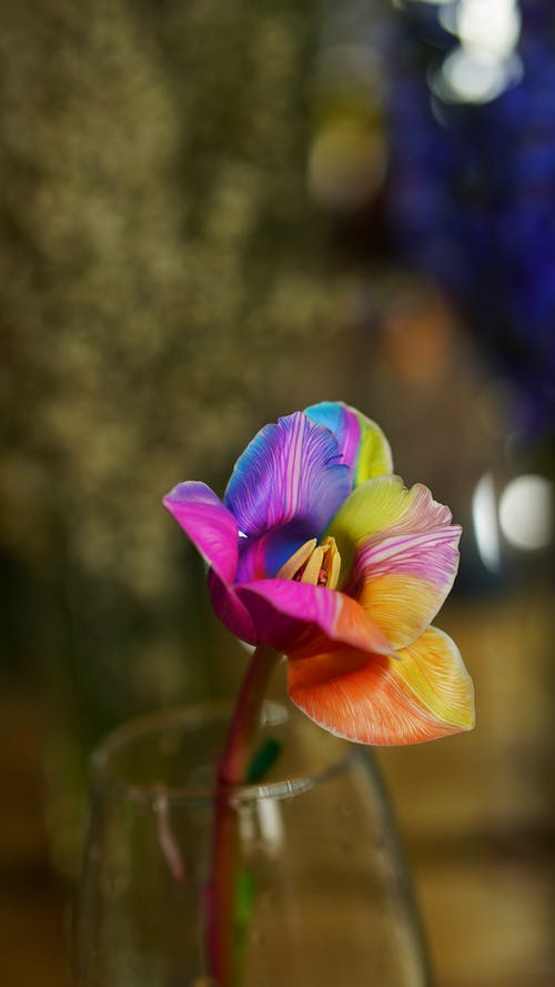Single bright bud of blooming tulip with multicolored petals and long stem placed in vase against green plants on blurred background