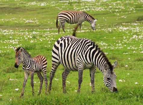 Photo of 3 Zebra on Green Grass Field