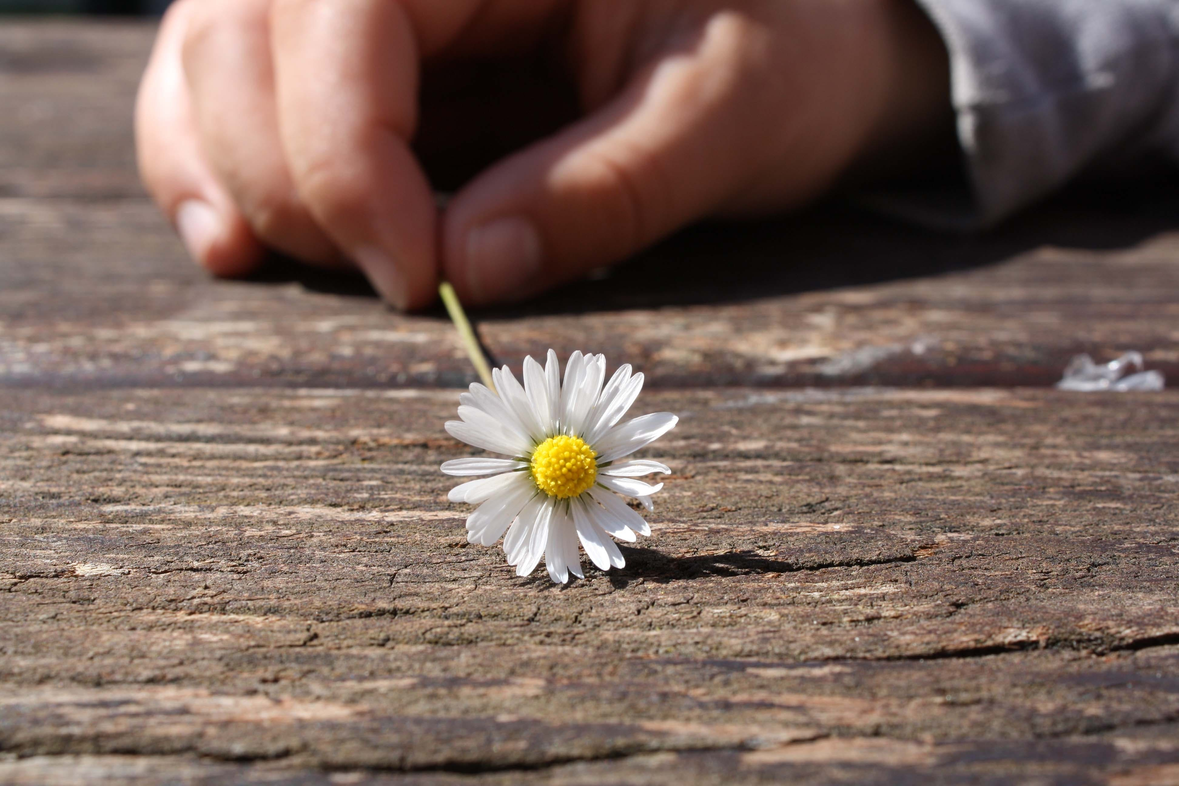 Dandelion Flower on Brown Wooden Table
