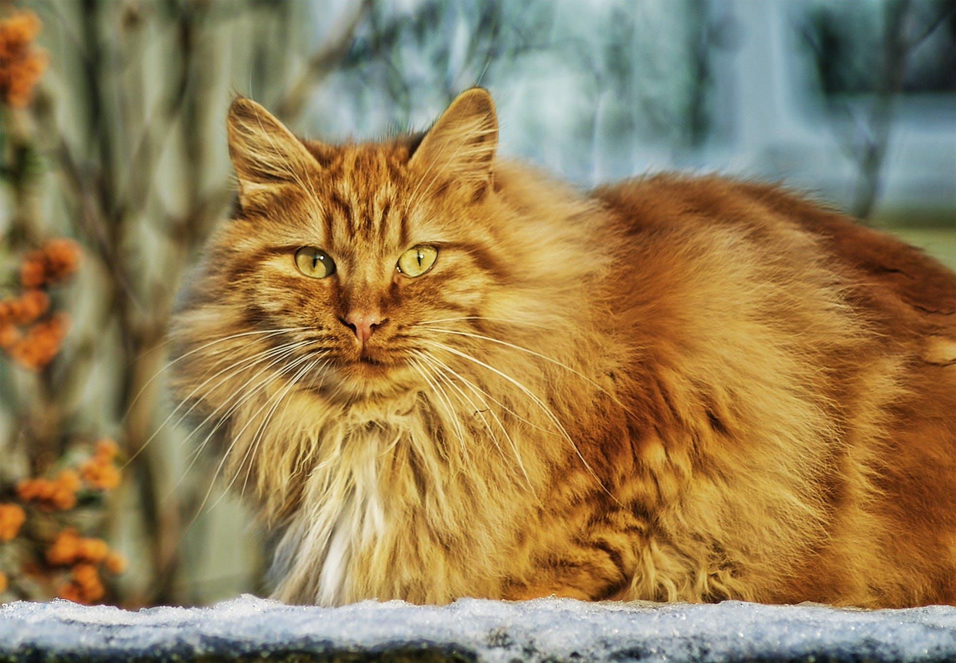 Brown Persian Cat in Selective Lens Photography