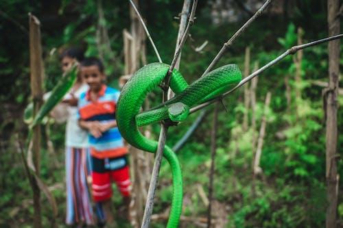 Close-Up Shot of a Venomous Green Viper Snake