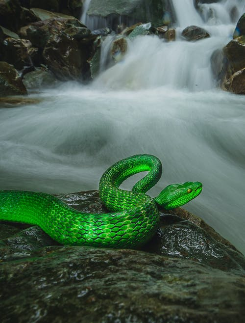Close-Up Shot of a Green Viper on a Rock