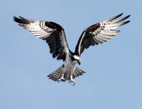 Foto profissional grátis de águia, animais selvagens, animal, asa