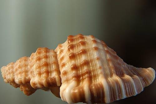 Free stock photo of macro, sea shell