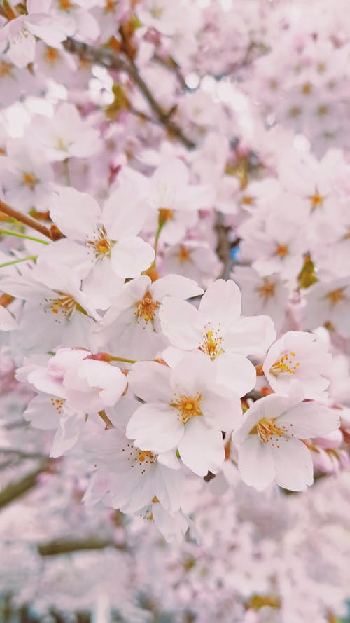 Beautiful Cherry Blossoms in Bloom