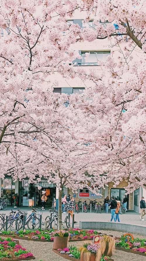 Cherry Blossoms in Bloom at a Park