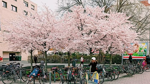 Bicycles Parked Under the Cherry Blossom Trees
