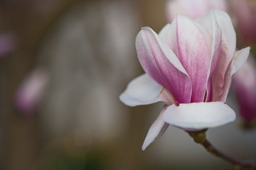 A Close-Up of a Magnolia Flower