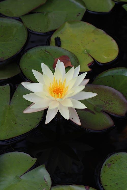 Безкоштовне стокове фото на тему «Біла квітка, вертикальний, вода»