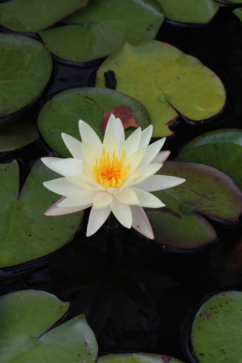 A Beautiful White Water Lily Flower