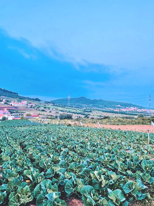 Free stock photo of cabbage, field, green