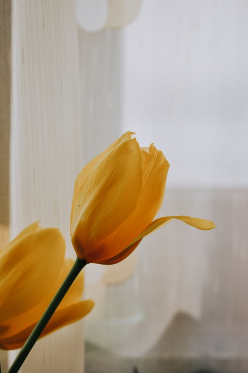 Blossoming yellow flowers with curved tender petals on thin stem against tulle in light house