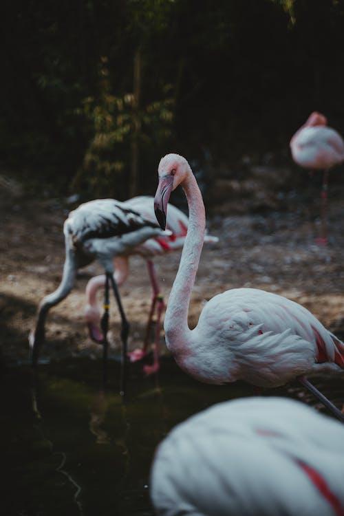 White Flamingos on Water