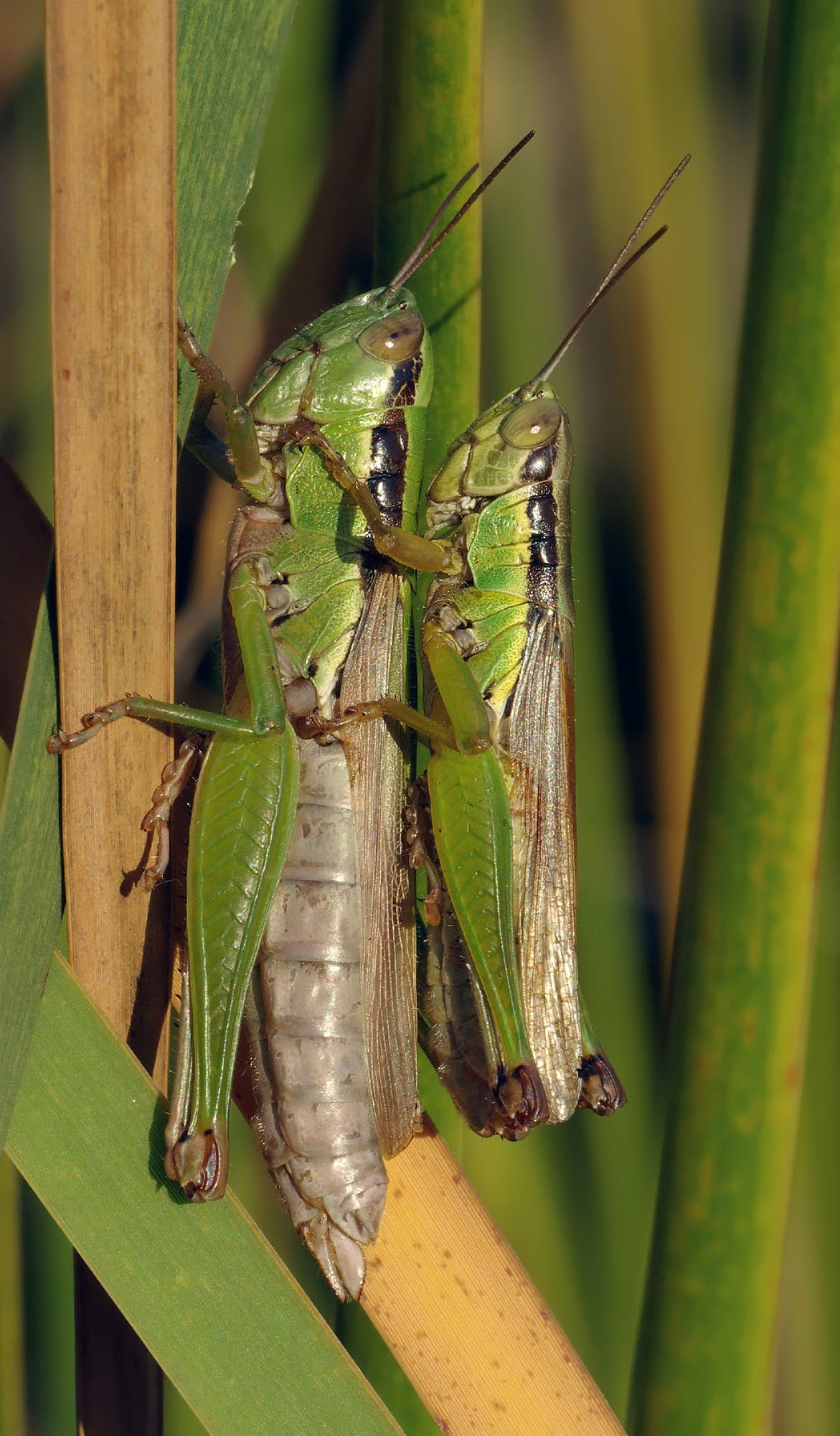 Grasshopper Making Each Other during Daytime
