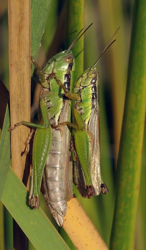 Grasshopper Making Each Other during Daytime