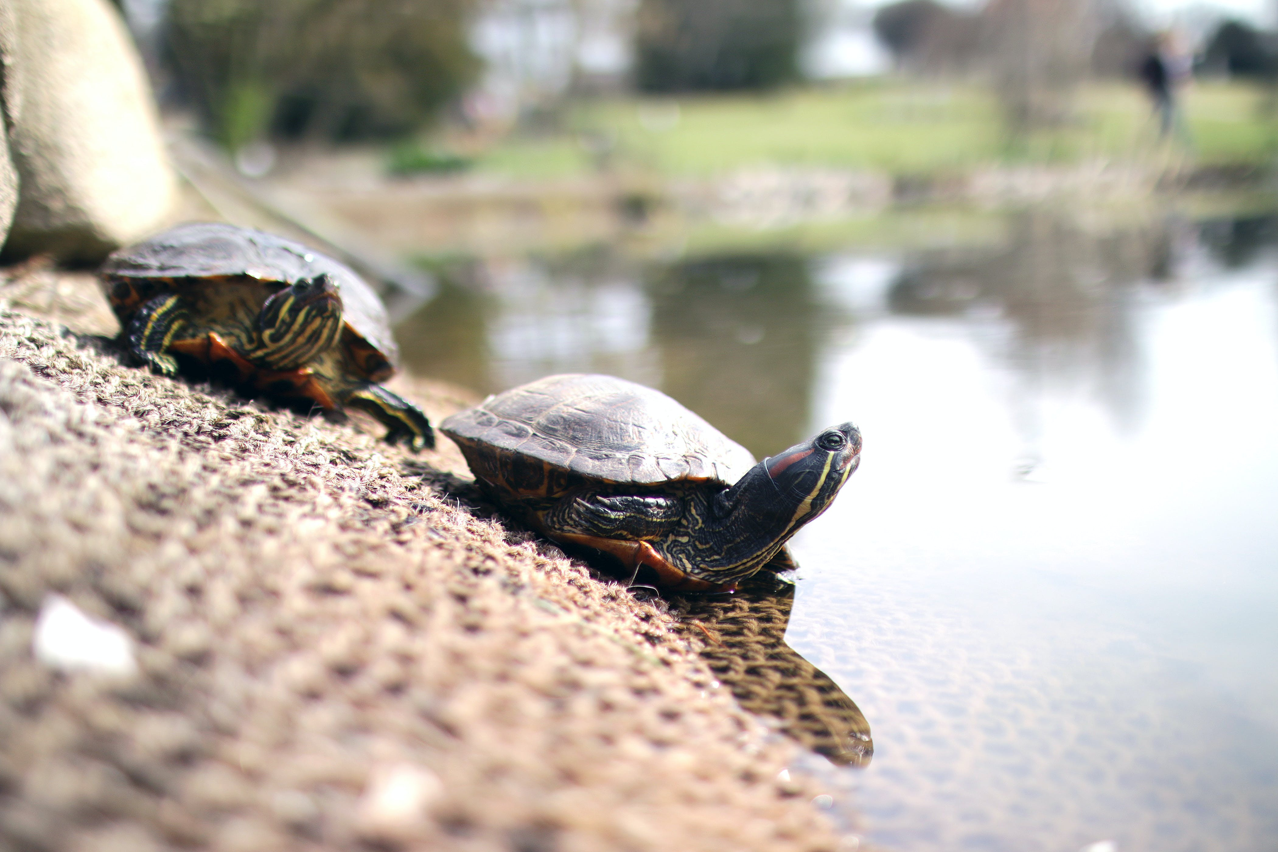 Selective Focus Photography of Two Brown Turtles Crawling Near Calm Body of Water