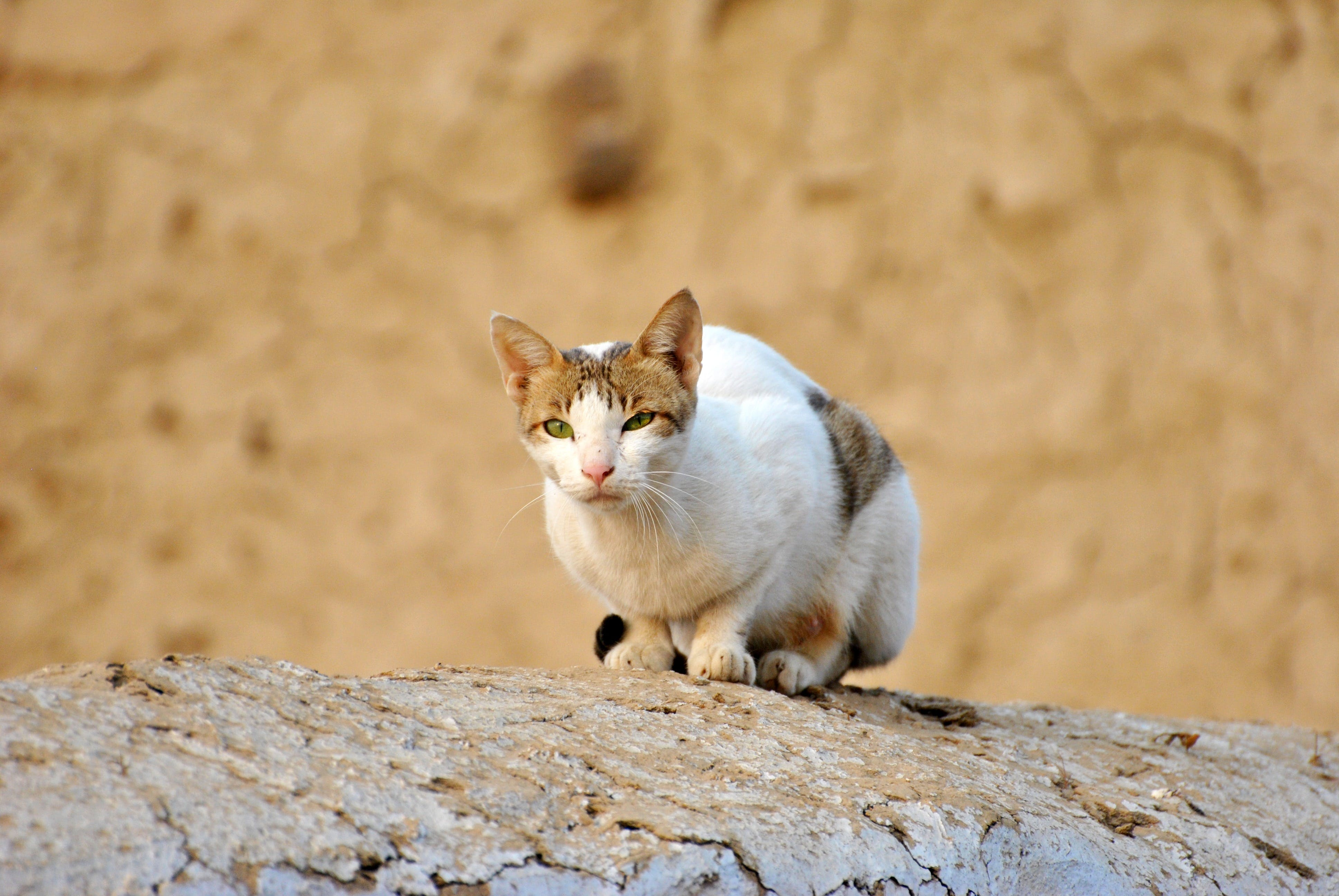 White Tabby Cat on Grey Rock
