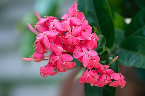 Blooming vivid pink West Indian jasmine flowers with green leaves