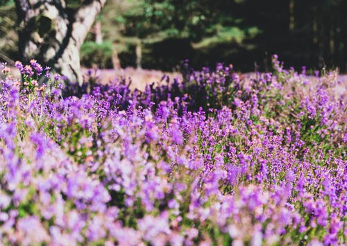Plantation of small purple Calluna flowers growing on field near tree trunk in forest in bright sunlight on summer day