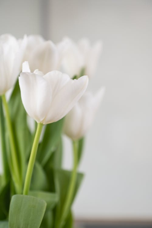 Bunch of fresh aromatic tulips with tender white petals and green leaves in vase placed on table in daylight